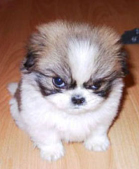 cute-angry-puppy1